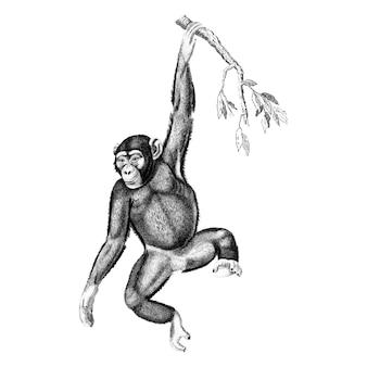Vintage illustrationen des schimpansen