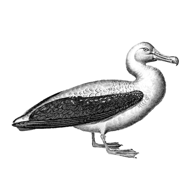 Vintage illustrationen von albatros