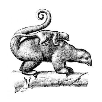 Vintage illustrationen von pygmäen-ameisenbär