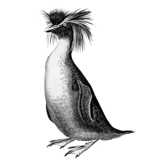 Vintage illustrationen von rockhopper pinguin