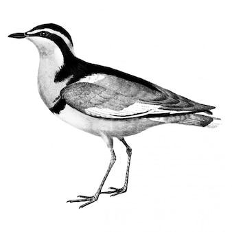 Vintage illustrationen von vogel