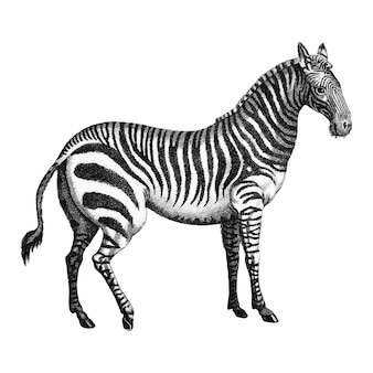 Vintage illustrationen von zebra