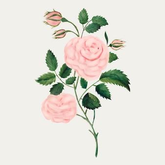 Vintage-illustrationsvektor der damastrose
