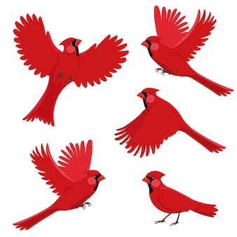Vogelroter kardinal in verschiedenen positionen. isolierte vektorillustration auf weißem hintergrund.
