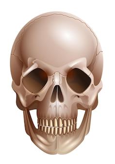 Vorderansichtillustration des menschlichen schädelknochens