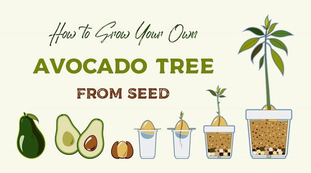 Wachsende anleitung des avocadobaum-vektors. grüne einfache anweisung, avocadobaum vom samen zu wachsen. avocado-lebenszyklus.