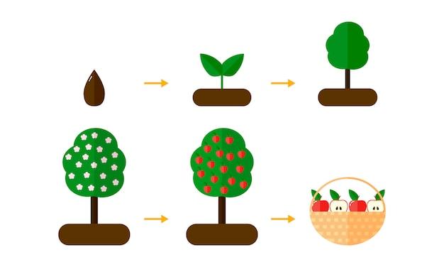 Wachstumsstadien von apfelbäumen. rote äpfel.