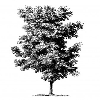 Walnuss-Baum-Weinlese-Illustrationen