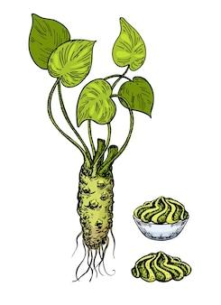 Wasabi-wurzel mit soße in der schüsselvektorzeichnung, farbskizze für wasabi