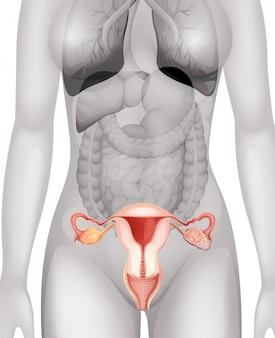 Weibliche genitalien im menschlichen körper