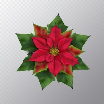 Weihnachtssternblume lokalisiert auf einem transparenten hintergrund. roter und grüner fotorealistischer weihnachtsstern der draufsicht für winterdesign. flache lage, draufsicht, quadrat. vektorillustration