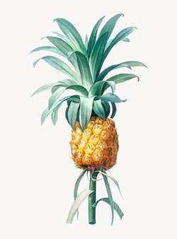 Weinlese-illustration der ananas