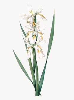 Weinlese-illustration der gelben mit einem band versehenen iris