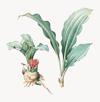 Weinlese-illustration der malerpinsellilie
