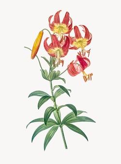 Weinlese-illustration der turban-lilie