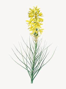 Weinlese-illustration des gelben asphodel