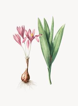 Weinlese-illustration des herbstkrokus