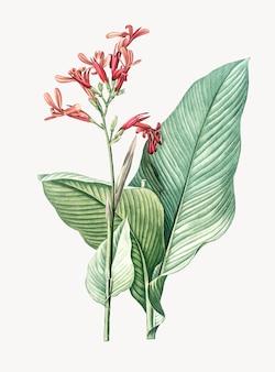 Weinlese-illustration von canna lilie