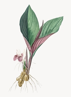 Weinlese-illustration von koemferia-longa