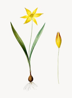 Weinlese-illustration von tulipa-celsiana