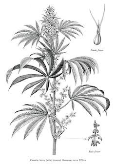 Weinlese-stichillustrationsschwarzweiss-clipart des männlichen baums des hanfs sativa botanische lokalisiert