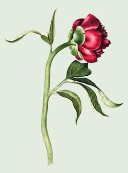 Weinleseillustration einer pfingstrosenblume