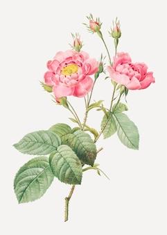 Weinleserosa-rosenplakat