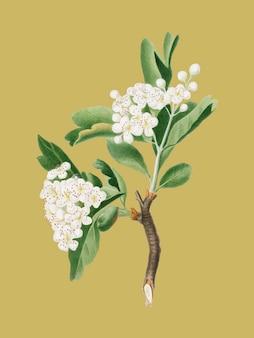 Weißdornblume von pomona italiana-illustration