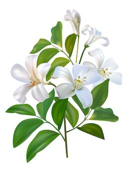Weiße blume sampaguita jusmine und grünblätter