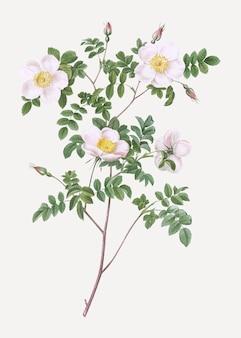 Weiße candolle rose