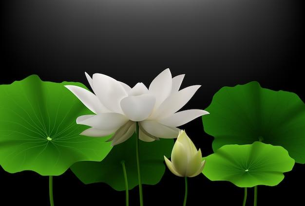 Weiße lotus-blume mit grünen blättern auf schwarzem hintergrund