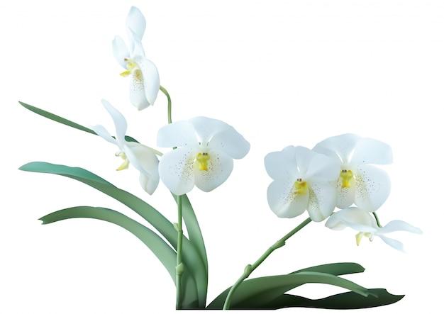 Weiße orchideenpflanze mit blumen