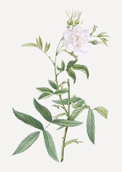 Weiße rose von york in voller blüte