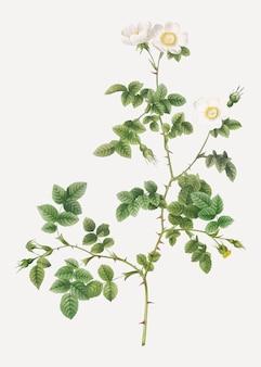 Weiße sweetbriar rose