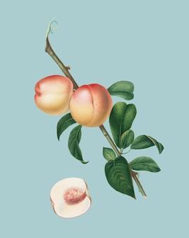 Weiße walnuss von pomona italiana-illustration