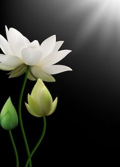 Weißer lotus blüht mit strahlen auf schwarzem hintergrund