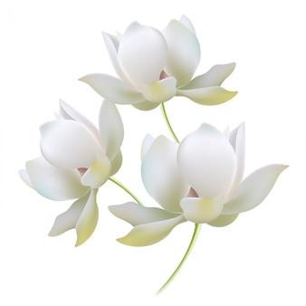 Weißgoldlilien öffnen knospen realistische vektorillustration. zart leuchtende schattenblätter