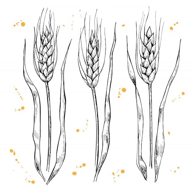 Weizenähren zeichnen