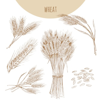 Weizenohren, garbe und körner. getreideskizze handgezeichnete zeichnung.