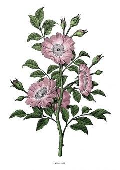 Wilde rosenhandzeichnung weinlese lokalisiert auf weißem hintergrund