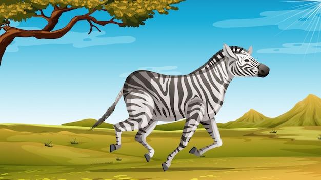 Wildes zebra, das allein im savannenfeld läuft