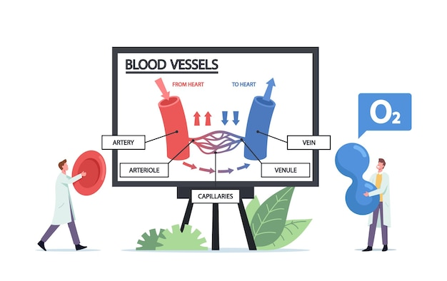 Winzige ärzte-charaktere, die riesige infografiken der blutzirkulation in venen, arteriengefäßen oder arteriolen präsentieren. sanitäter mit blutkörperchen und sauerstoffpartikeln in den händen. cartoon-menschen-vektor-illustration