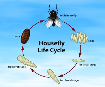 Wissenschaft Stubenfliege Lebenszyklus
