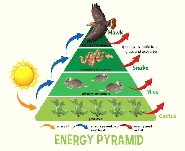 Wissenschaft vereinfachte ökologische pyramide