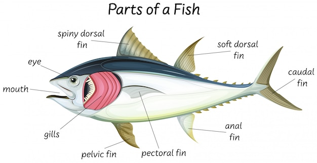 Wissenschaftliche innere anatomie von fischen