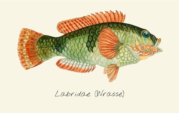 Wrasse fisch