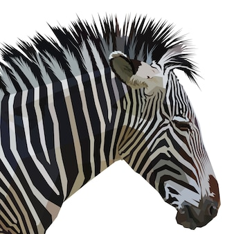 Zebra getrennt auf weißem hintergrund