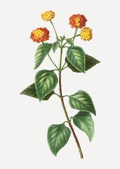 Zeckenbeere pflanze