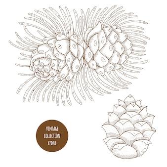 Zeder. kegel. gezeichneter satz des vektors hand kosmetische anlagen lokalisiert. komponentenillustration der ätherischen öle. aromatherapie zutaten. skizzensammlung natürliche elemente.
