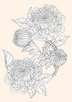 Zeichnung der chrysanthemenblume eigenhändig